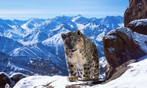 New dawn … a snow leopard in Planet Earth II.