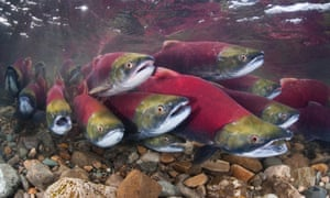 Sockeye salmon in the Adams River, British Columbia, Canada