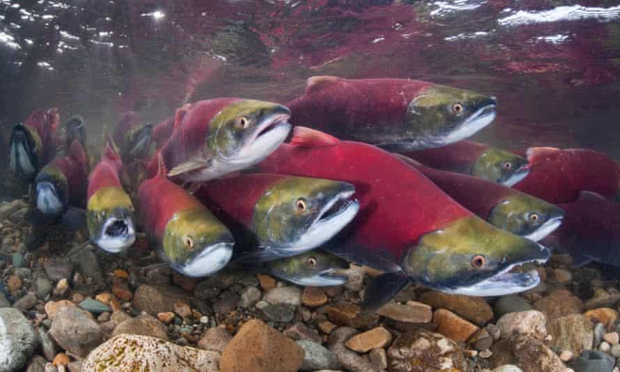 Sockeye salmon in the Adams River, British Columbia, Canada