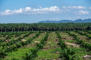 Young and mature oil palms sit in front of natural jungle in the state of Sabah, Borneo.