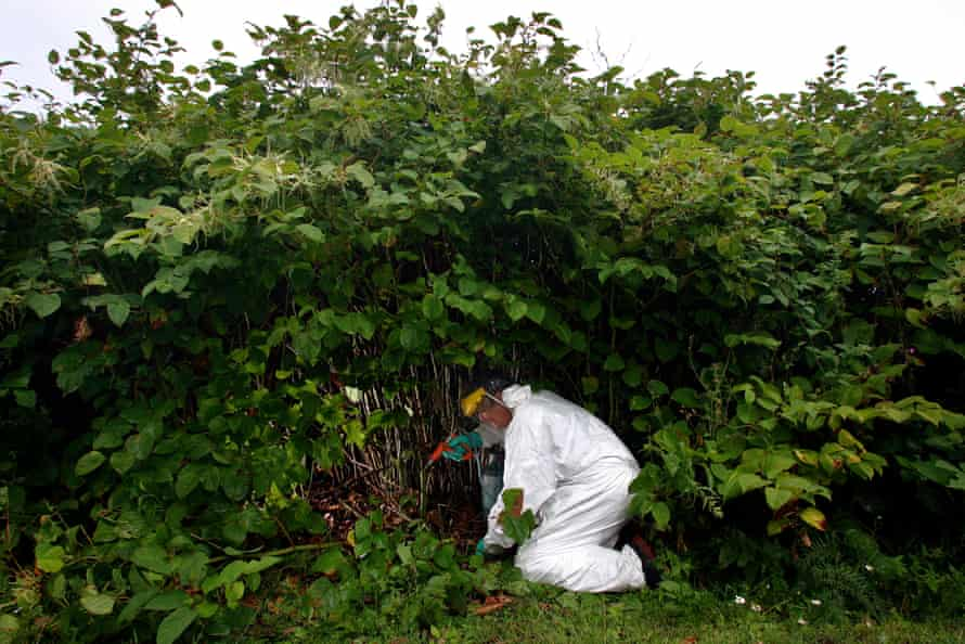 A pest eradication expert poisons Japanese knotweed in Cornwall.