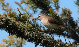 Paul Kelly's skittering, bouncing music reminds Sean Dooley of yellow-rumped thornbills.
