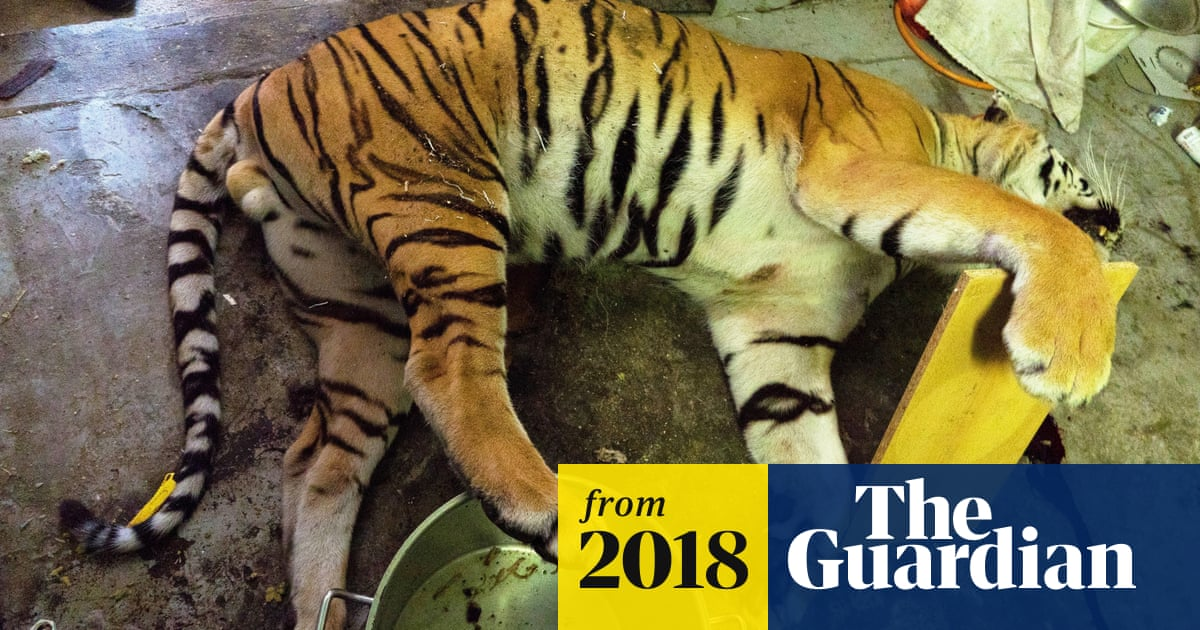 Gruesome discovery of Czech tiger farm exposes illegal trade in heart of Europe