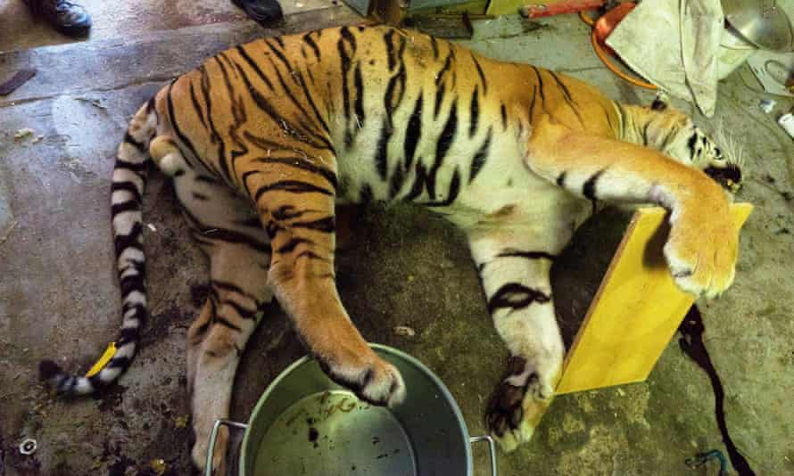 The body of a tiger discovered in in a house in Prague, next to a pot used to cook down tiger parts