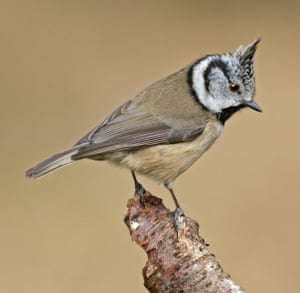 The crested tit is a Highland species.