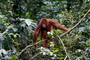 Aceh Besar, Indonesia A four-and-a-half-year-old orangutan is released into the wild by the Sumatran Orangutan Conservation Programme in Jantho