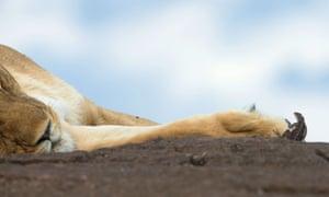 A brave African rock lizard approaches a sleeping lion in in Kenya's Masai Mara national park
