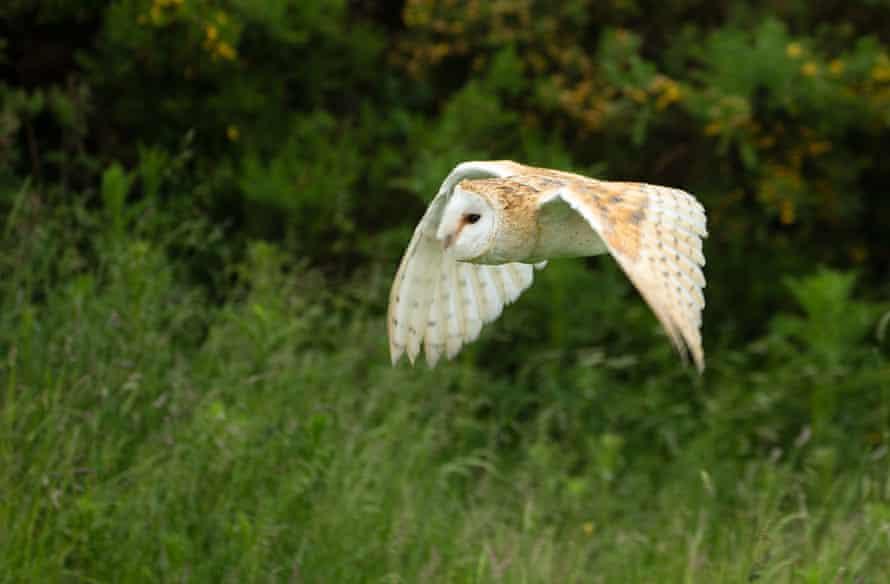 A barn owl (Tyto alba) in flight