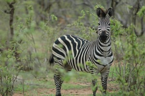 The once widespread and abundant Plains Zebra has been moved from 'least concern' to 'near threatened' on the red list. The population has reduced by 24% in the past 14 years from around 660,000 to a current estimate of just over 500,000 animals.