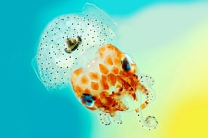 Hawaiian bobtail squid  This jaunty little Hawaiian bobtail squid was captured with close-up photography which produced a series of images that were then stitched together. The diminutive creature is a classic example of symbiosis: the squid offers a home and nutrients to light-producing bacteria, while the bacteria allow the squid to flit through the water without creating a telltale silhouette.