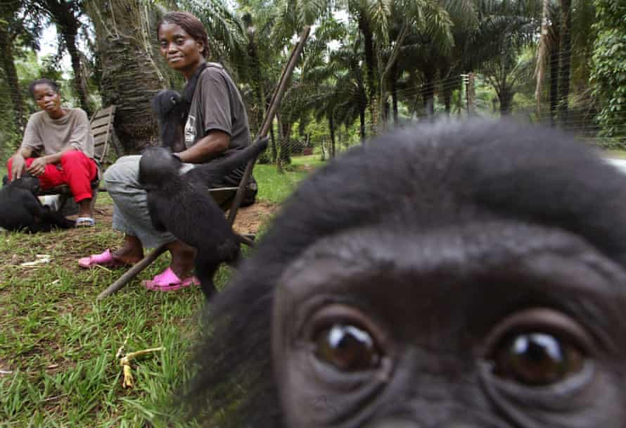 Bonobos have been vanishing rapidly from their only habitat – the DRC – for the past 20 years.