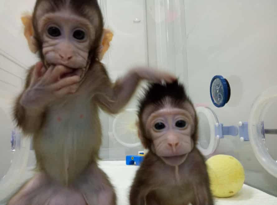 Cloned macaques Zhong Zhong and Hua Hua in their Chinese laboratory