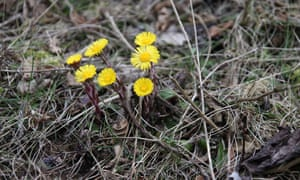 Coltsfoot growing on old quarry waste at Coombs Dale in the Peak District National Park.