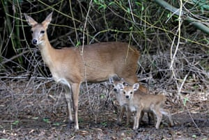 One-day-old Chinkara (Indian gazelle) babies with their mother at Van Vihar national park in Bhopal, India