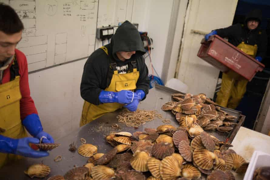 Staff at Loch Fyne Seafarms, in Tarbert, Argyllshire, sort scallops, lobsters and lagoustines for shipping.