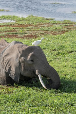 An African elephant feeds in the wetlands in Amboseli national park in Kenya