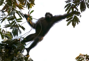 The study produced a total population estimate for the central chimpanzee of nearly 130,000 individuals.