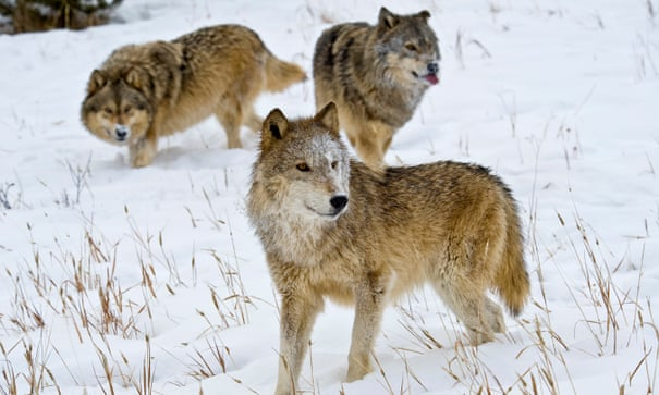 Wild Mexican Wolves At Risk