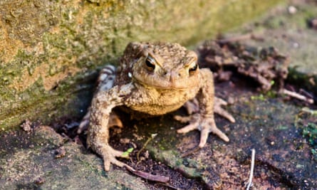 The visiting toad