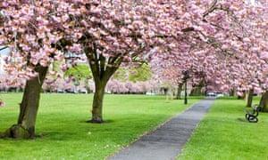 Cherry blossom in a Harrogate park