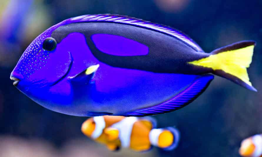 Blue tang fish resembling Dory next to a clownfish resembling Nemo