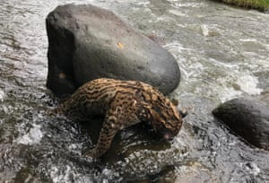 An ocelot killed by poachers, Colombia.
