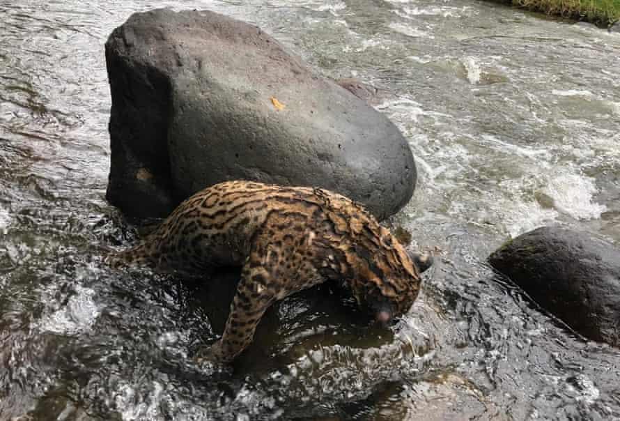 An ocelot killed by poachers, Colombia.