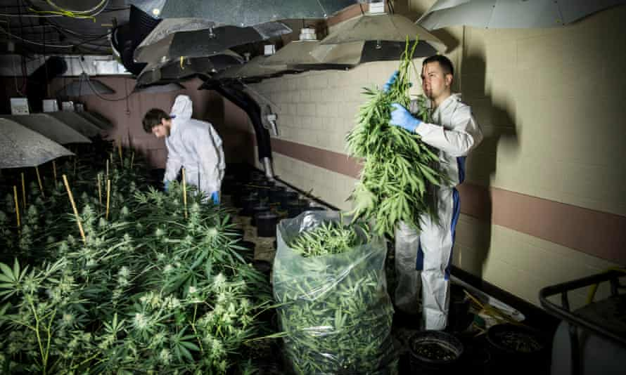 Cannabis plants being cleared from the disused bunker.