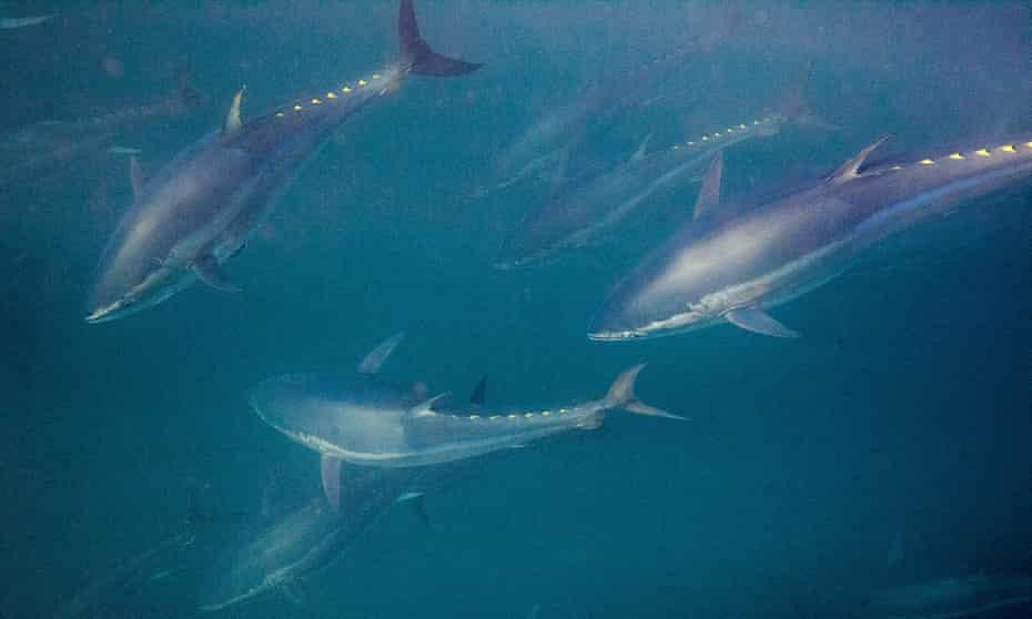 Traditional bluefin tuna fishing off the coast of Spain