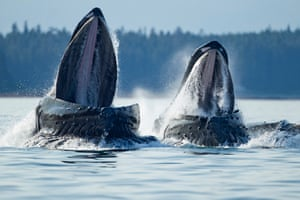 Tongass national forest, US. Close-up shots of the mouths of humpback whales (Megaptera novaeangliae) feeding near village of Angoon in Alaska