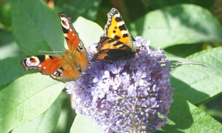 Amy Glasman captured these two butterflies on the buddleia plant outside her window.