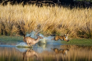 A tiger comes for tea: a deer desperately runs into the water, but is unable to escape the big cat.