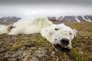 A male polar bear that starved to death as a consequence of climate change