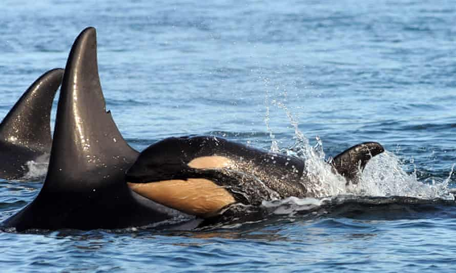 A new baby orca whale is seen swimming alongside an adult whale in the Haro Strait in Washington state.