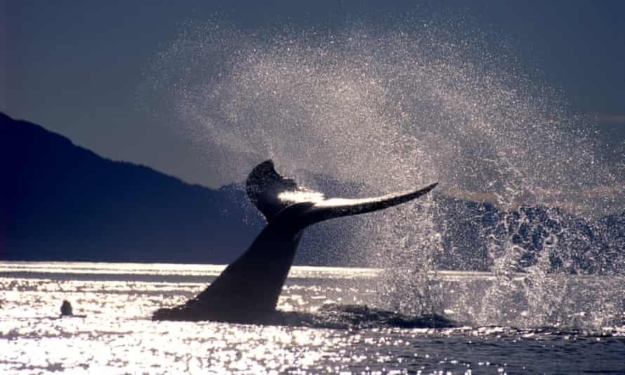 HUMPBACK WHALE TAIL FLUKE MEGAPTERA NOVAEANGLIAE ALASKA USA Alamy A2E159