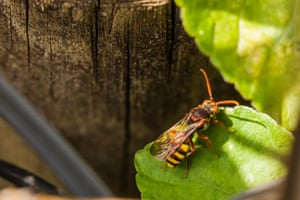 Nomad bee sitting on a leaf