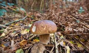Penny bun mushroom in Epping forest.