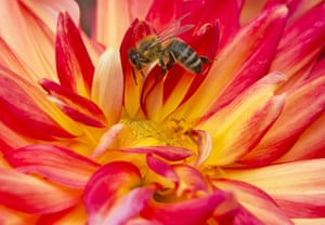 A bee sits in a dahlia (Karma Bon Bini) blossom at a horticultural exhibition in Erfurt, central Germany