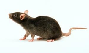 Brown lab rat