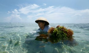 An Indonesian woman harvests seaweed at her farm off the beach in Nusa Dua, Bali, Indonesia.