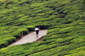 Tea garden in Munnar in Indiaepa05690584 A photograph made available on 29 December 2016 shows an Indian man as he walks with an umbrella in rain in a tea garden in Munnar, India, 28 December 2016. Munnar, with its sprawling tea plantations, is a popular hill station resort town in southern India. EPA/SANJAY BAID
