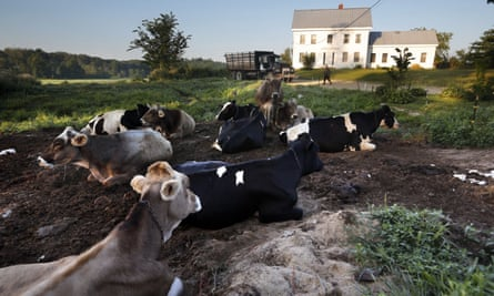 Dairy cows rest outside the home of Fred and Laura Stone at Stoneridge Farm in Arundel, Maine, in August 2019. The farm has been forced to shut down after sludge spread on the land was linked to high levels of PFAS in the milk.