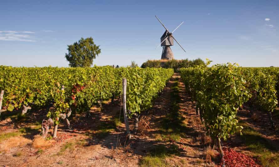 Bound for blending? Cabernet Franc grapes growing in a Montsoreau vineyard, Maine-et-Loire, France.