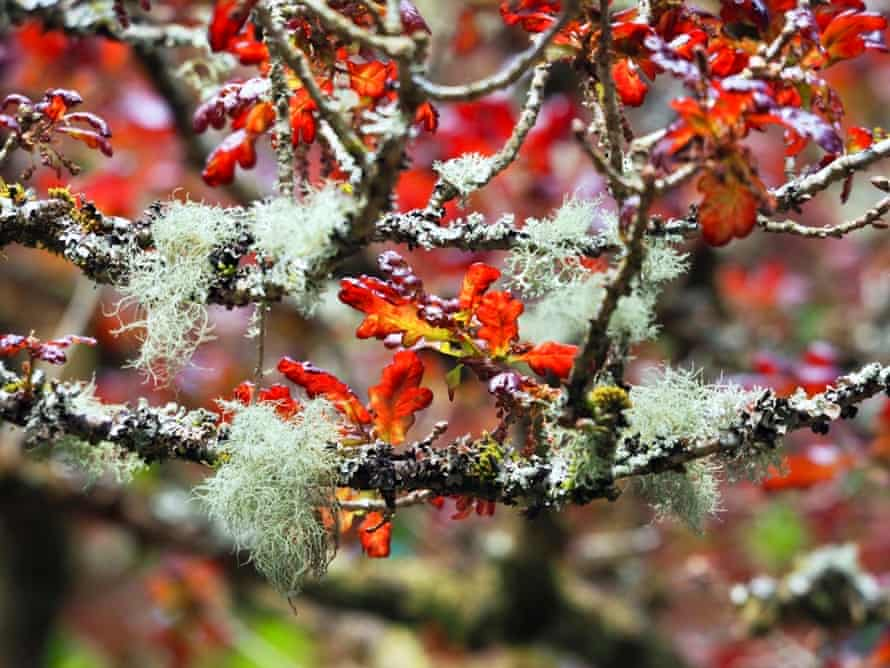 A red-leaved oak with tufts of green-grey lichen