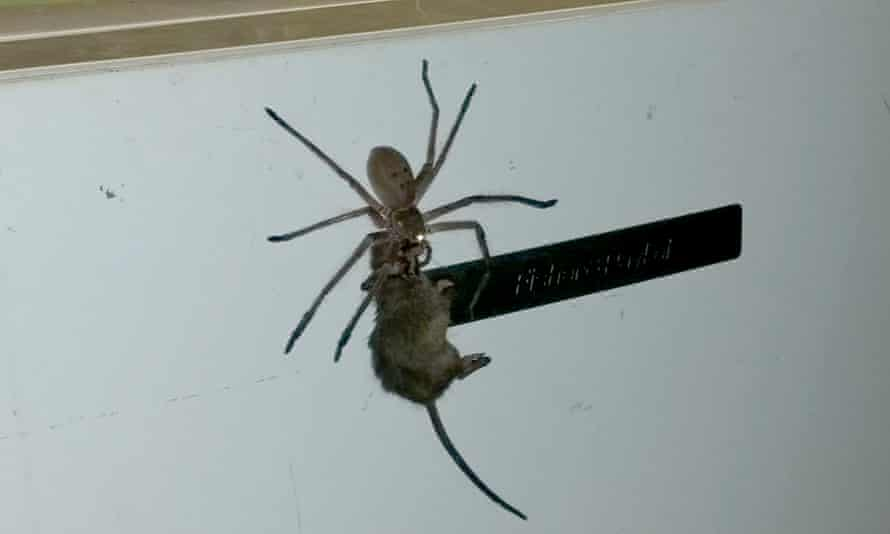 Facebook user Jason Womal posts a video showing a large spider dragging a mouse along what appears to be a fridge.