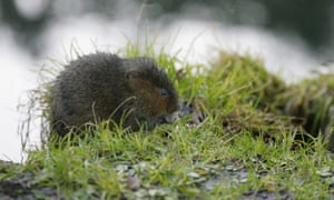 A water vole feeding on a river bank