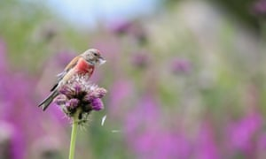 Isaac composed this alpine-meadow tableau with the sea of soft purple knapweed behind, accentuating the clashing red of the linnet's plumage. Try keeping a flying linnet in sight while scrambling down rocky embankments holding a telephoto lens. Isaac did, for 20 minutes. He was determined to keep pace with the linnet that he spotted while hiking in Bulgaria's Rila Mountains, finally catching up with the tiny bird when it settled to feed on a thistle flowerhead. From the florets that were ripening, it pulled out the little seed parachutes one by one, deftly nipped off the seeds and discarded the feathery down. Isaac composed this alpine-meadow tableau with the sea