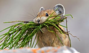 Pikas have disappeared from more than half of the areas in which they used to live in north-eastern California, the US Geological Survey said.