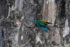 A torogoz (Eumomota superciliosa), El Salvador's national bird, carries a stone in its beak as it makes a nest on a rock wall near a park in San Salvador.