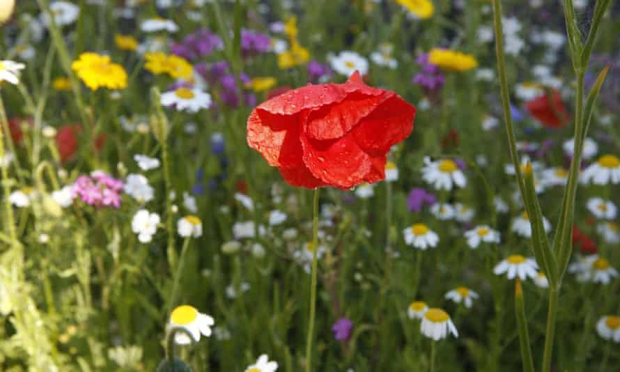 Wild flowers from the Grow Wild initiative run by Kew Gardens